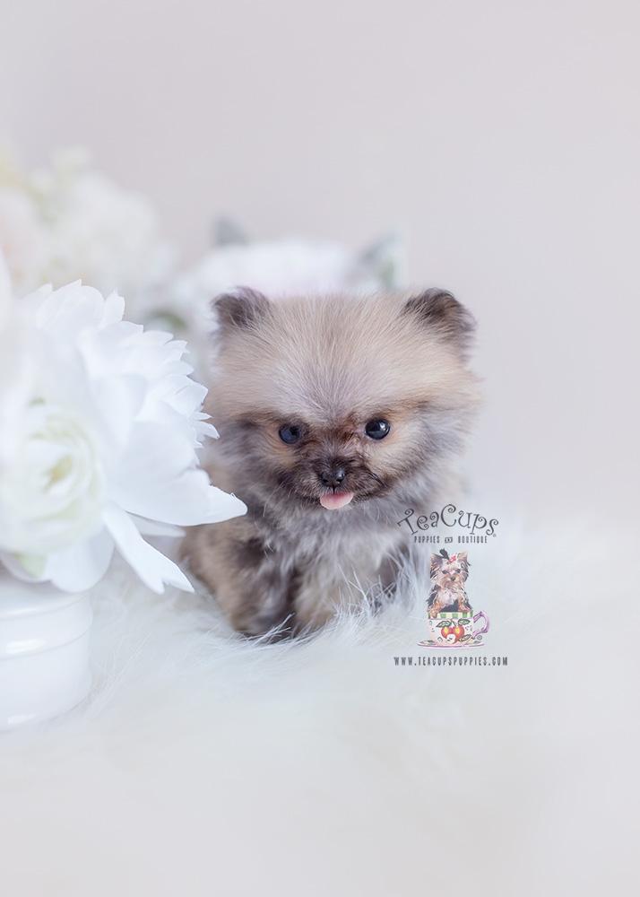 Tiny Teacup Pomeranian