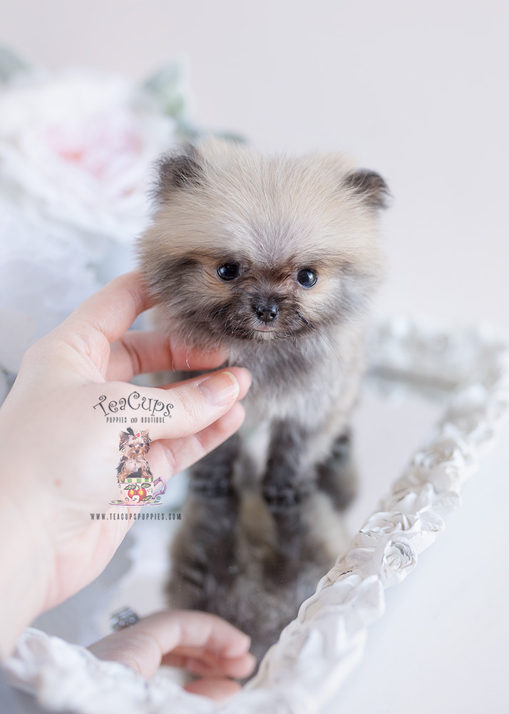 Micro Teacup Pomeranian Puppies | Teacups, Puppies & Boutique