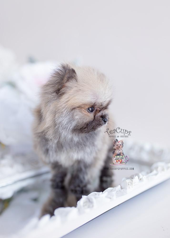 Gorgeous Teacup Pomeranian Paris Hilton Dog