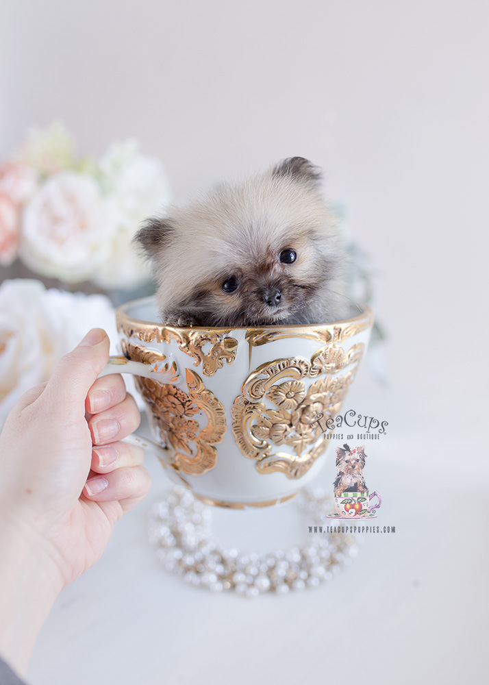 Micro Teacup Pomeranian Puppies Teacups Puppies Amp Boutique