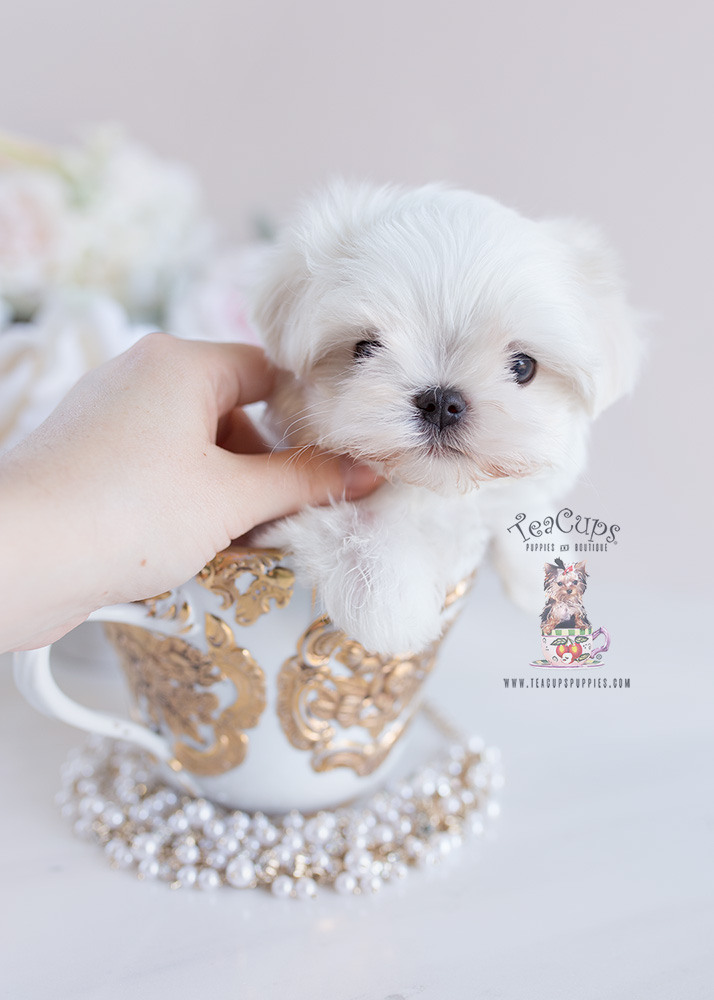 Teacup Puppies Maltese For Sale