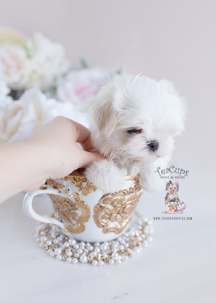 Teacup Puppies and Maltese For Sale