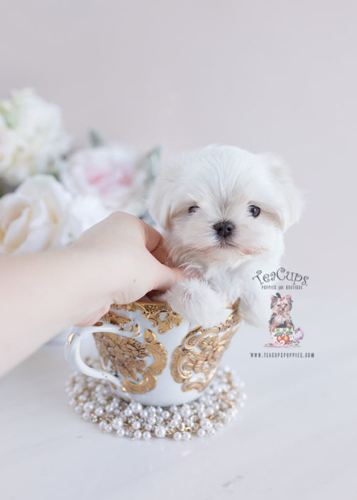 white teacup maltese teacup and toy maltese puppies teacups puppies boutique 4343