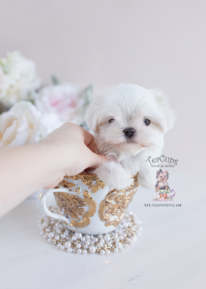 White Maltese Puppy #130 For Sale by Teacup Puppies