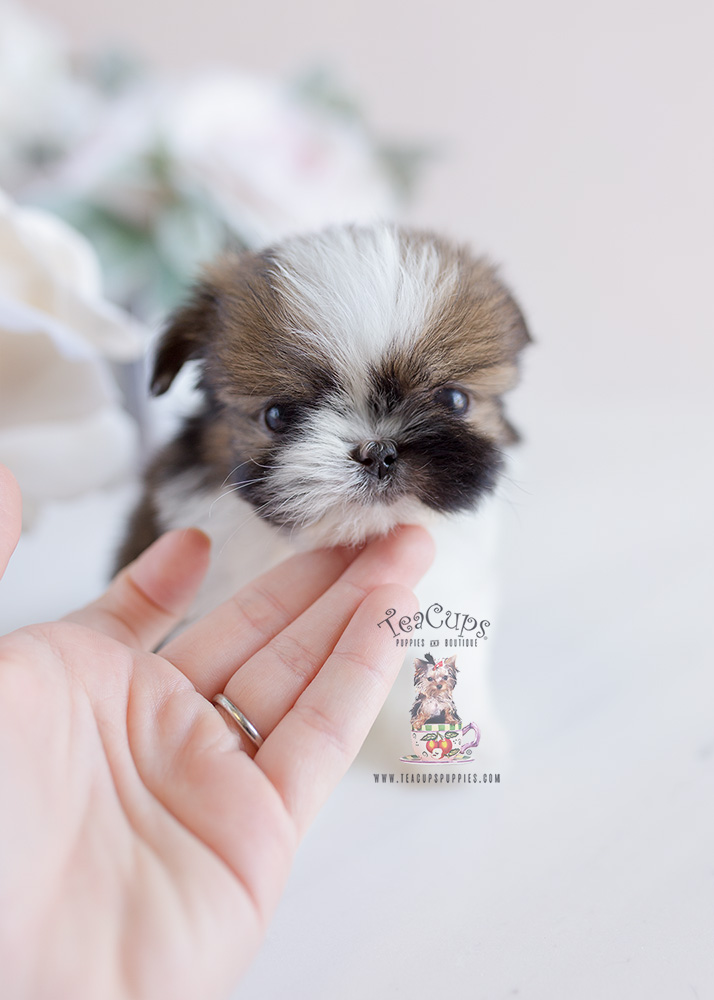 Teacup Puppies Shinese Shih Tzu Pekingese Designer Breed Puppy For Sale