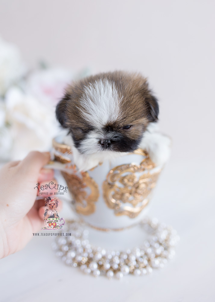 Tiny Teacup Imperial Shih Tzu