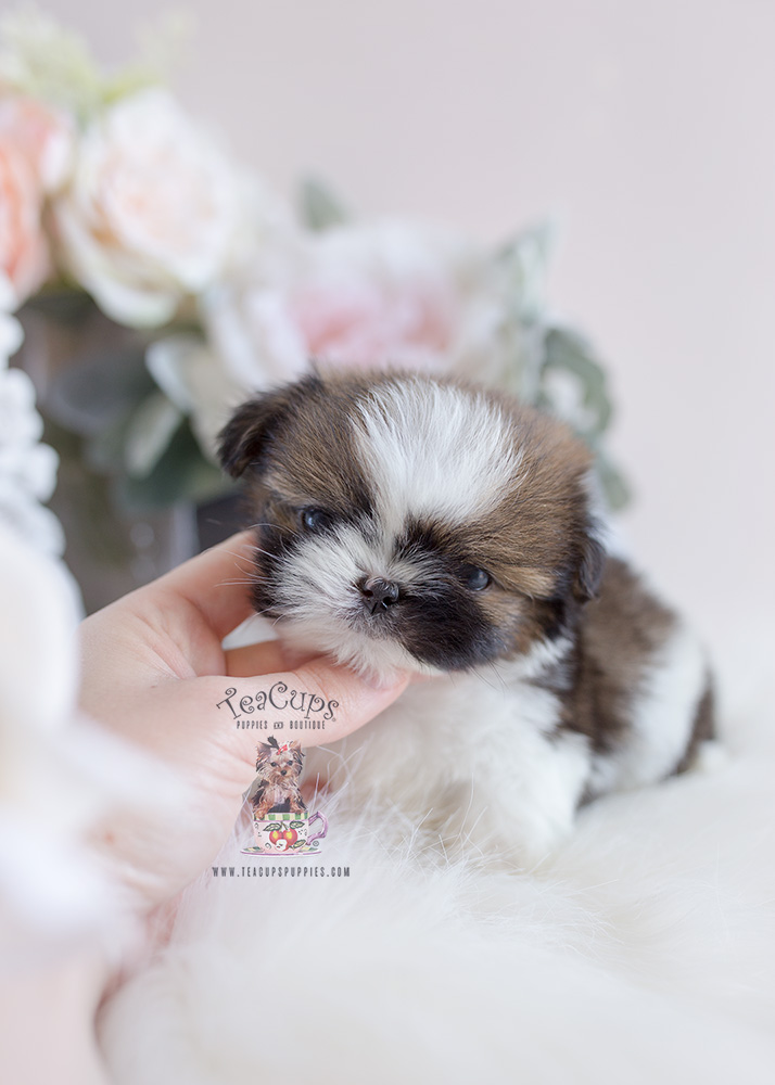 Teacup Puppies: Designer Breed For Sale