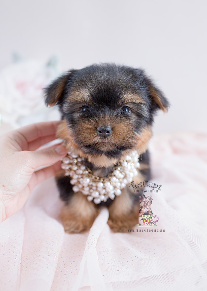 Teacup Puppies Yorkies For Sale