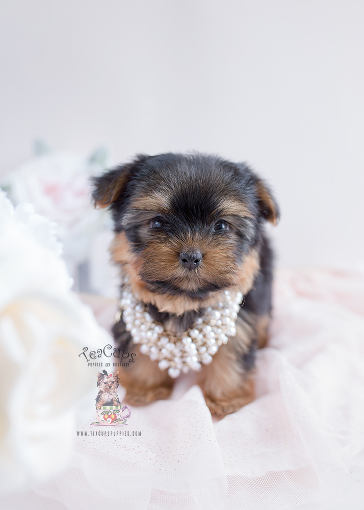 How to purchase a Teacup Yorkie puppy
