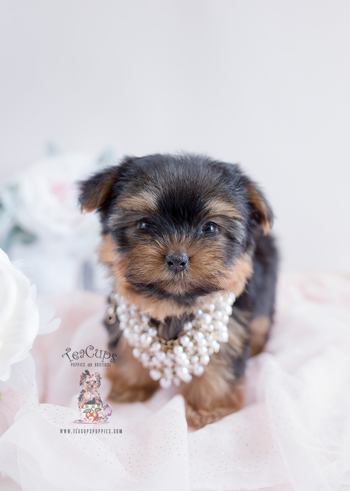 Toy Yorkie Puppy For Sale #129