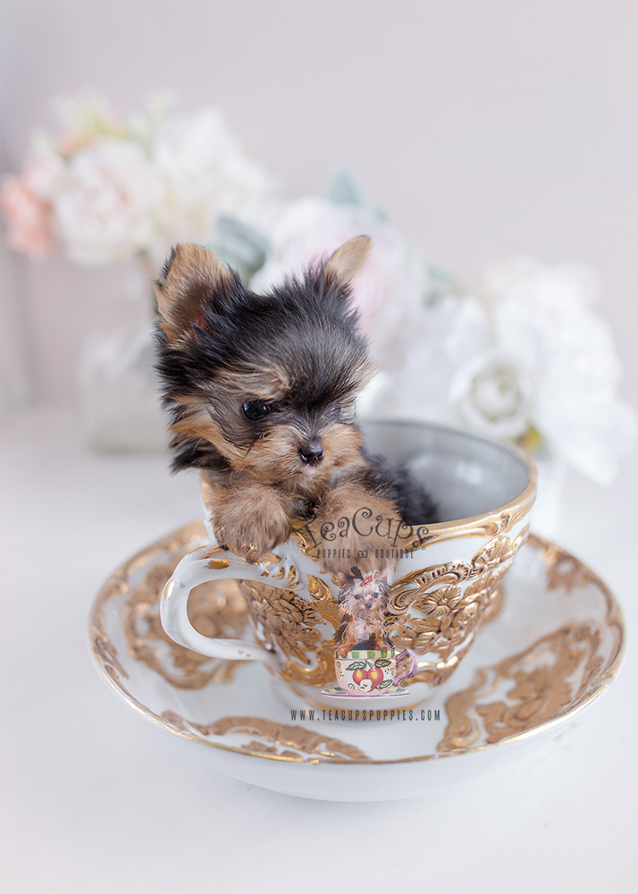 Teacup Yorkie Puppy For Sale Teacups Puppies Itty Bitty