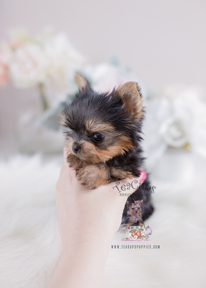 For Sale Teacup Puppies #108 Tiny Teacup Yorkie