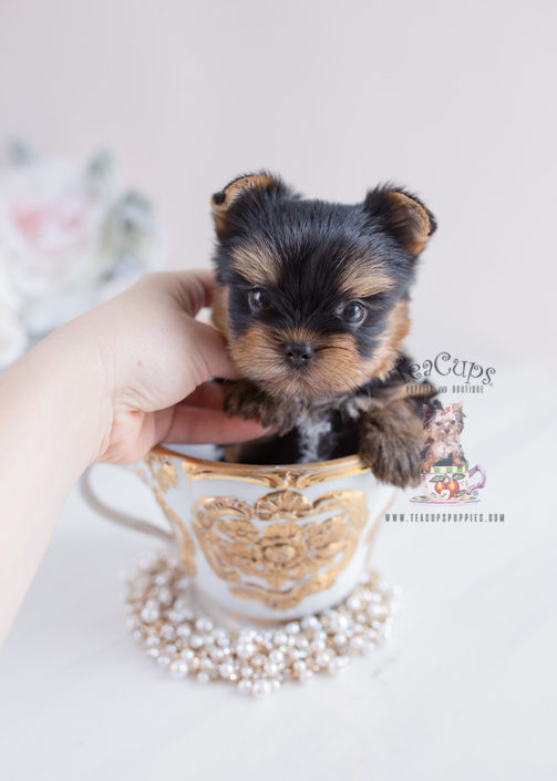 Yorkie Puppy For Sale #137