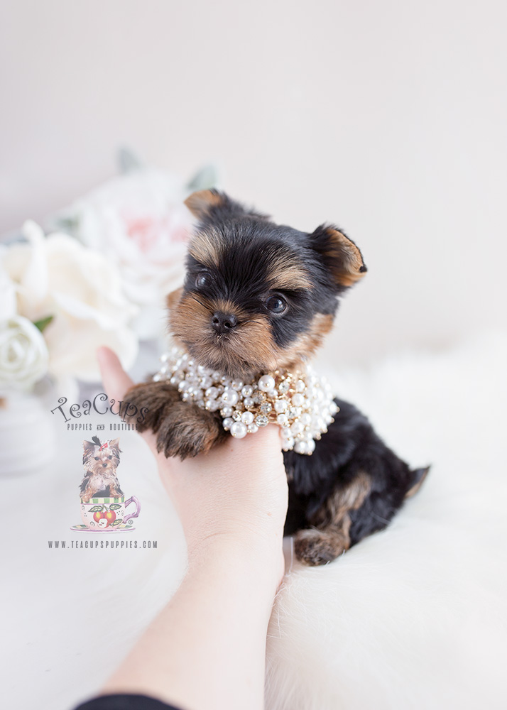 Teacup Puppies Yorkies For Sale Florida