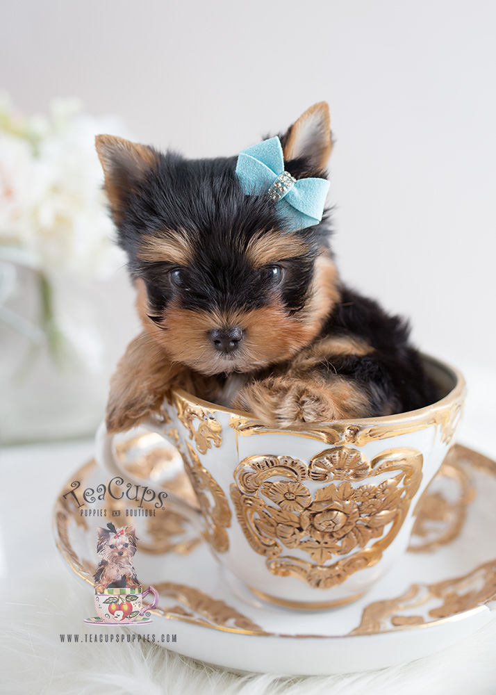 Toy Yorkies For Sale in Broward