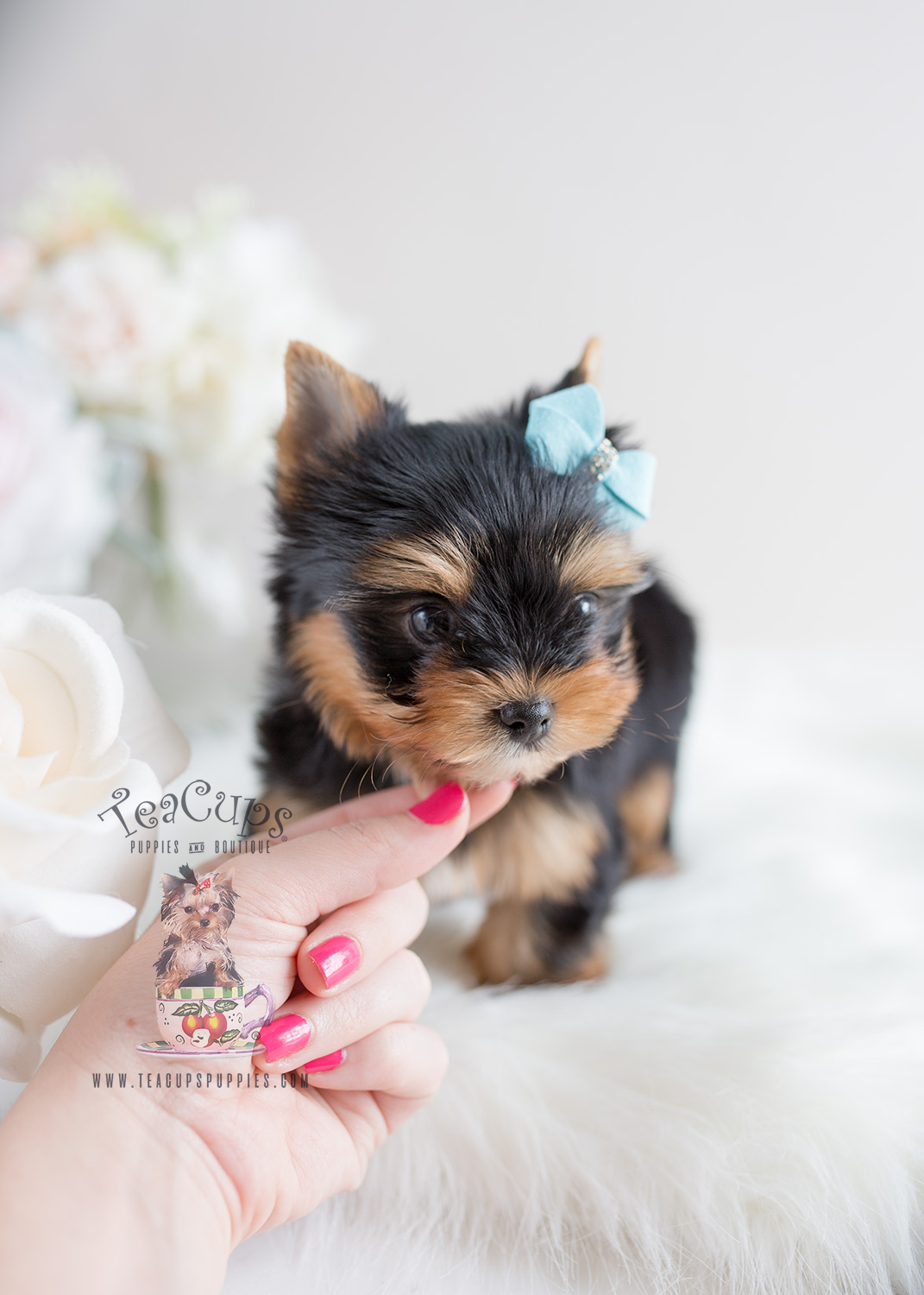 Teacup Puppies #106 Yorkie Puppy For Sale