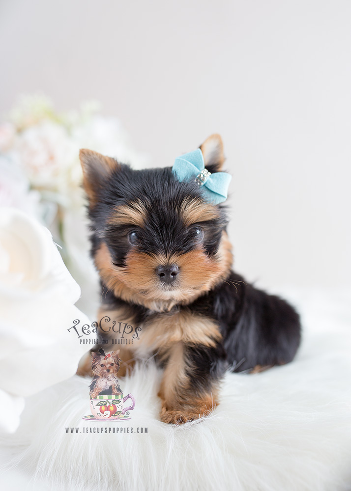 #106 Yorkie Puppy For Sale Teacup Puppies