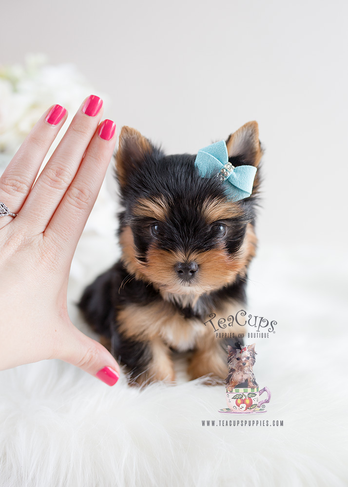 For Sale Teacup Puppies #106 Yorkie Puppy
