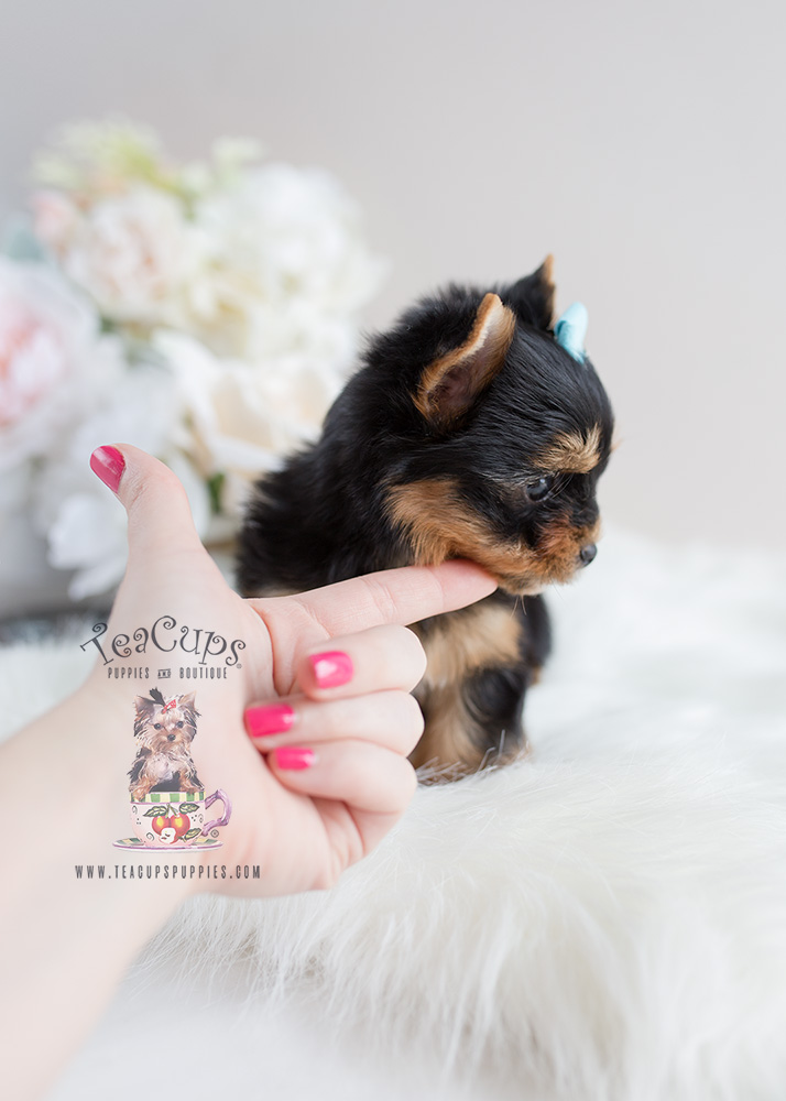 Yorkie Puppy For Sale Teacup Puppies #106