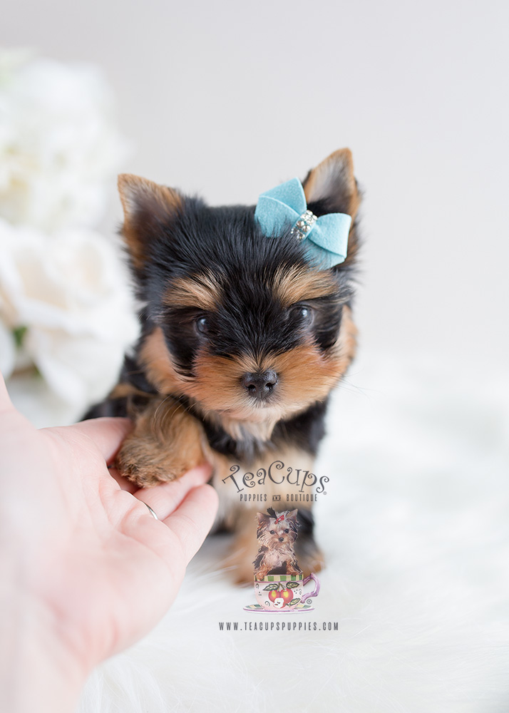 Puppy For Sale Teacup Puppies #106 Yorkie