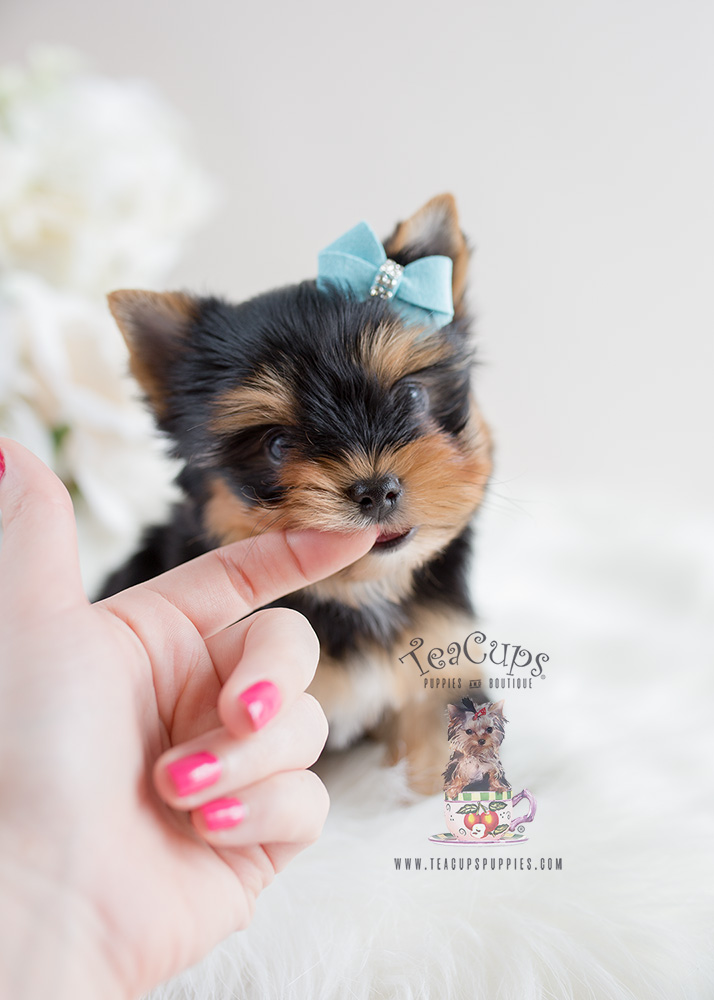 Toy Yorkies For Sale in South Florida
