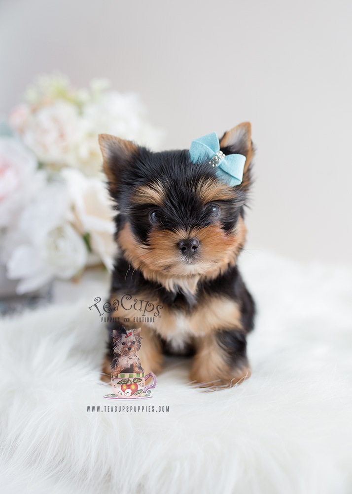 Male Toy Yorkie Puppies For Sale