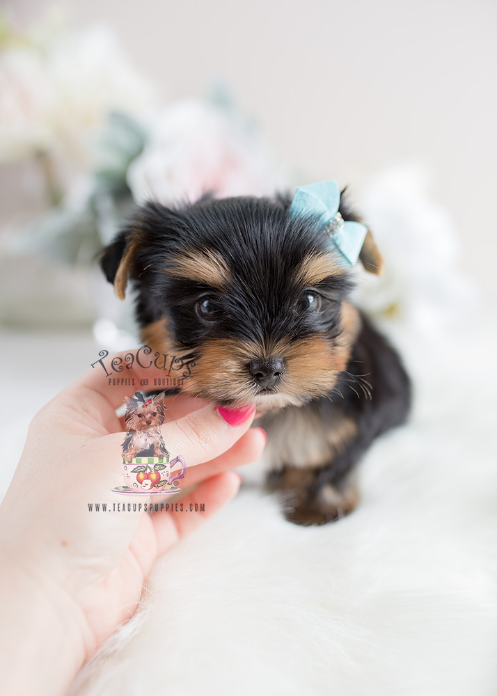 Puppy For Sale Teacup Puppies #107 Yorkie