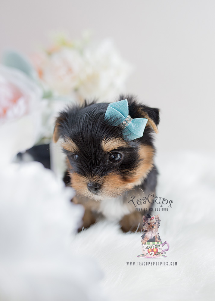 Yorkie Puppy For Sale Teacup Puppies #107