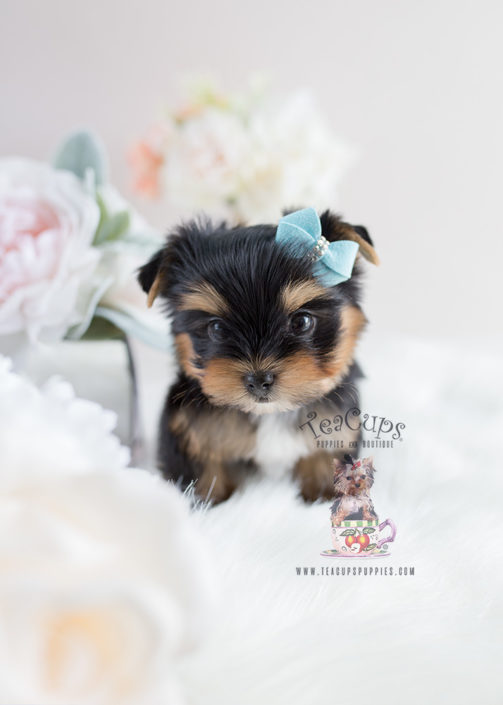 For Sale Teacup Puppies #107 Yorkie Puppy