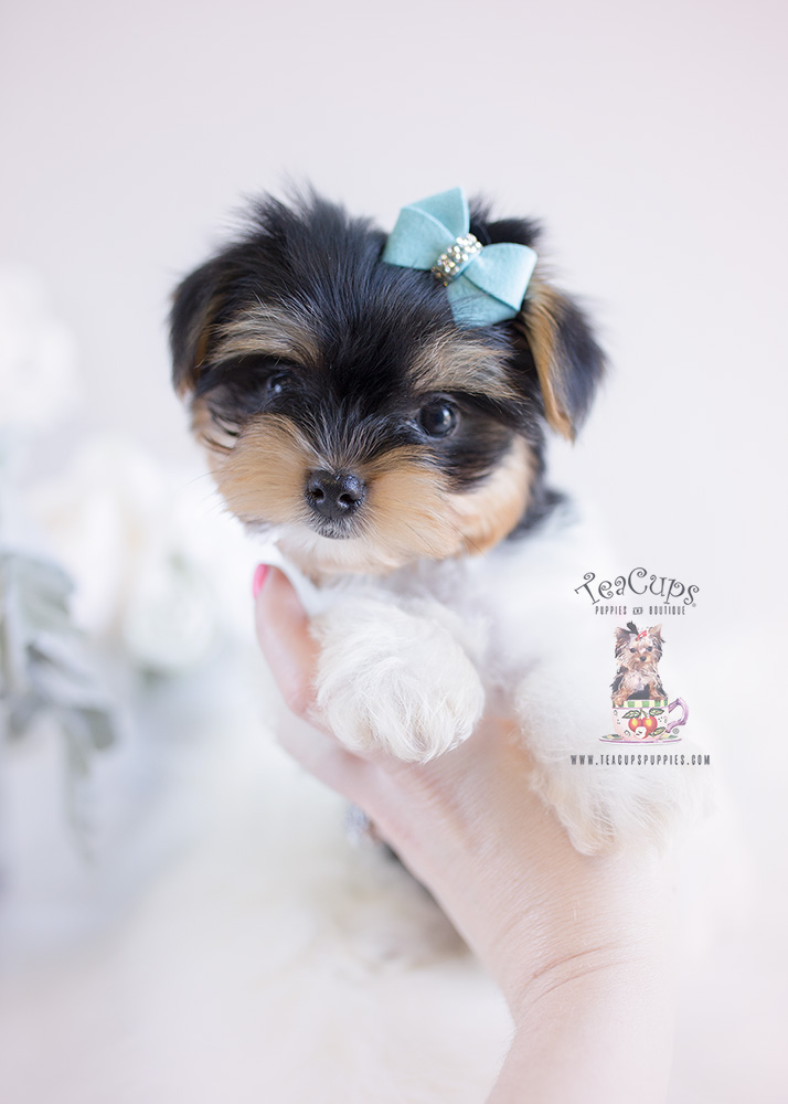 Yorkie Puppy For Sale Teacup Puppies #140 Biewer