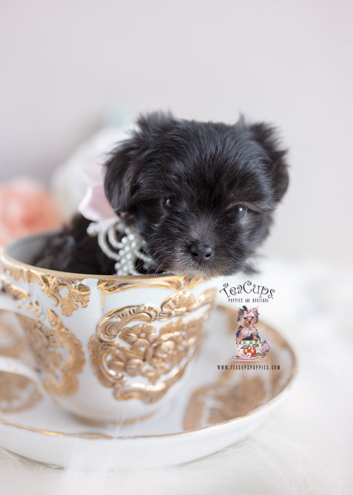 Maltipoo And Designer Breed Puppies For Sale Teacups