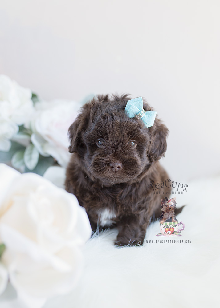 Chocolate Shipoo Puppy For Sale by TeaCups