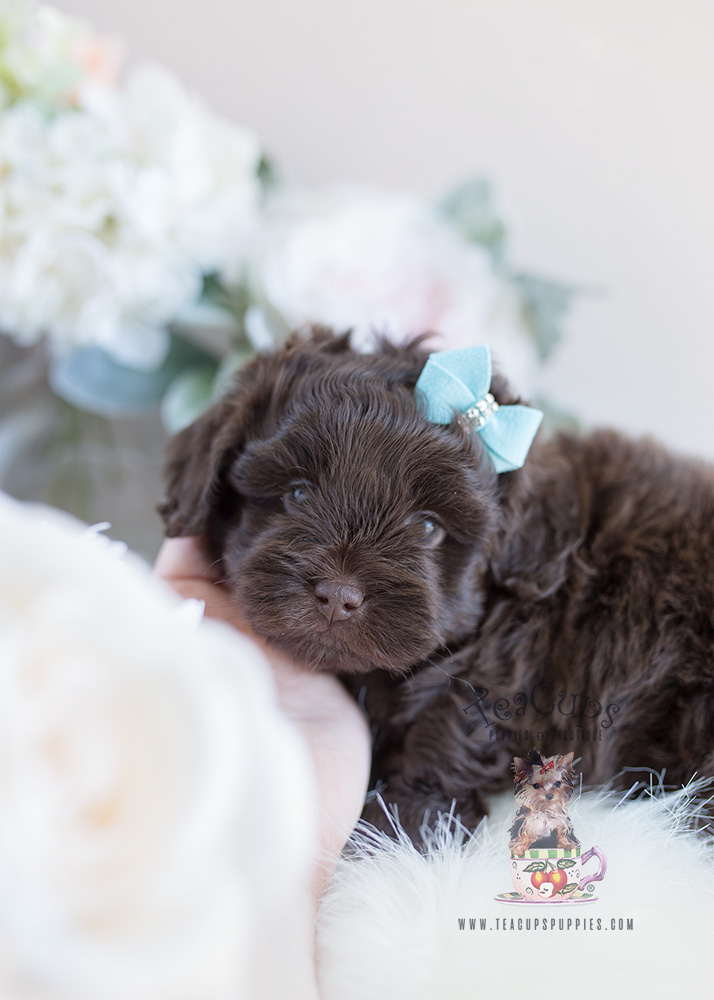 Shihpoo Designer Breed Puppies