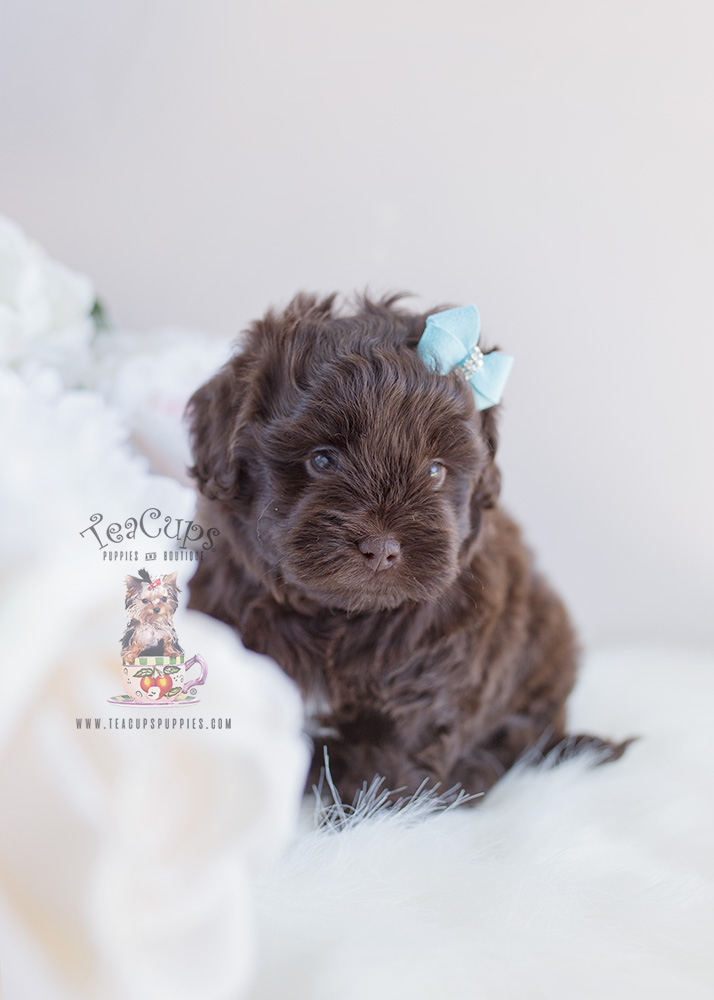 Chocolate Shih Poo Puppy