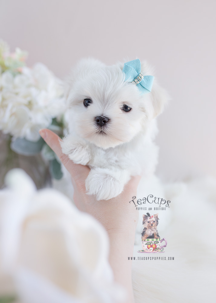 Puppy For Sale Teacup Puppies #131 Maltese