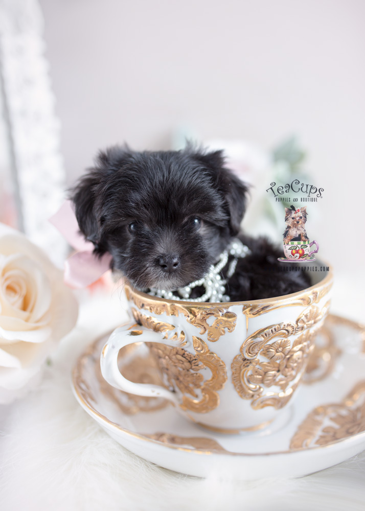 Puppy For Sale #149 Teacup Puppies Maltipoo