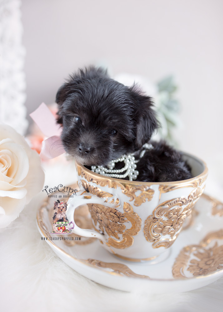 Black Maltipoo Puppy by Teacup Puppies