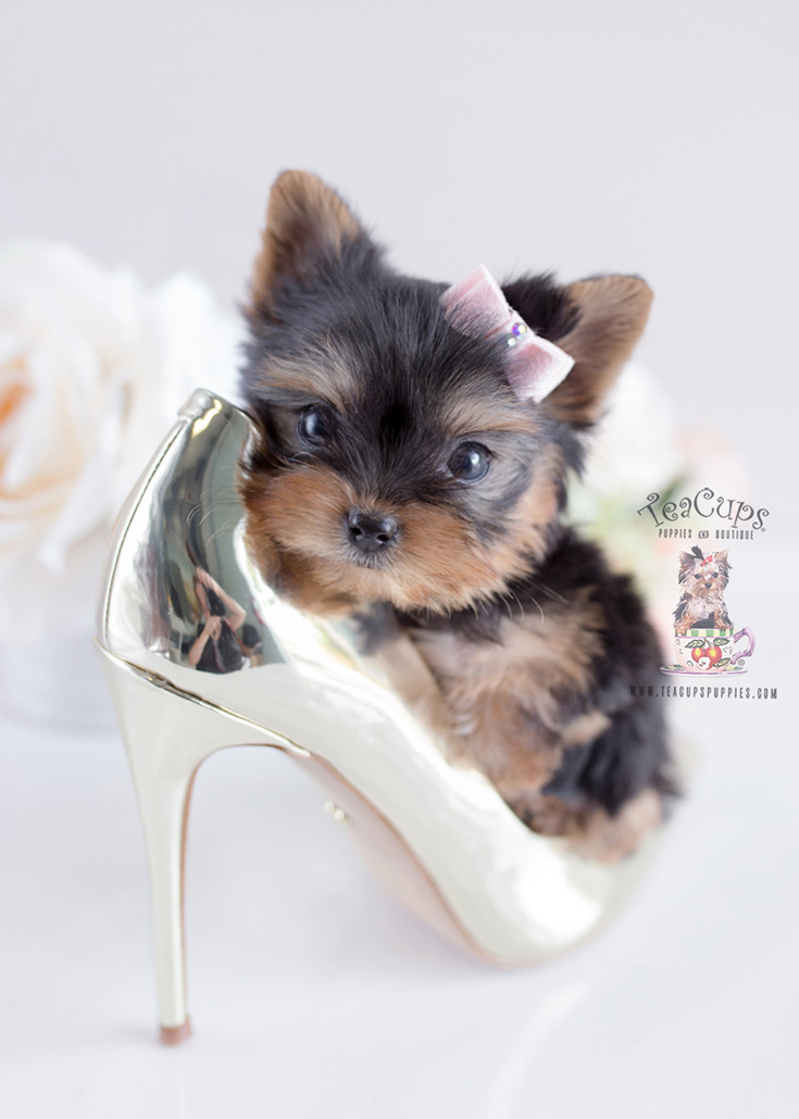 Toy Or Teacup Yorkies For Sale Teacups Puppies Boutique