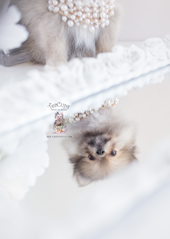 Pomeranian For Sale by Teacup Puppies