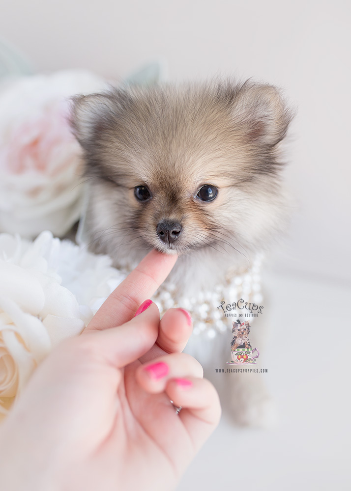 Pomeranian Puppies For Sale Teacup Puppies