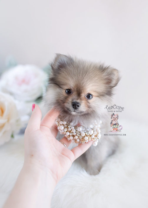 cheap teacup pomeranian tiny teacup pomeranian puppies teacups puppies boutique 4977
