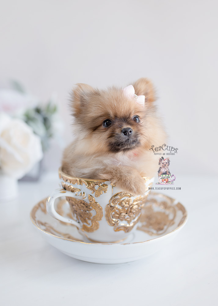 Teacup Pomeranian Puppies by Teacups Puppies