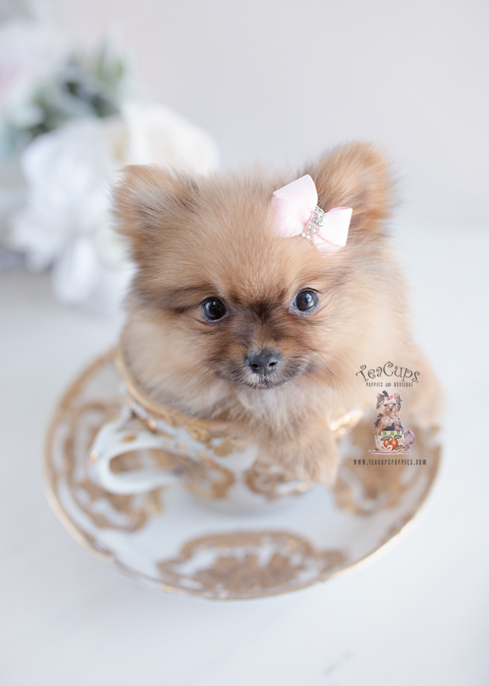 Pomeranian Puppies by Teacup Puppies