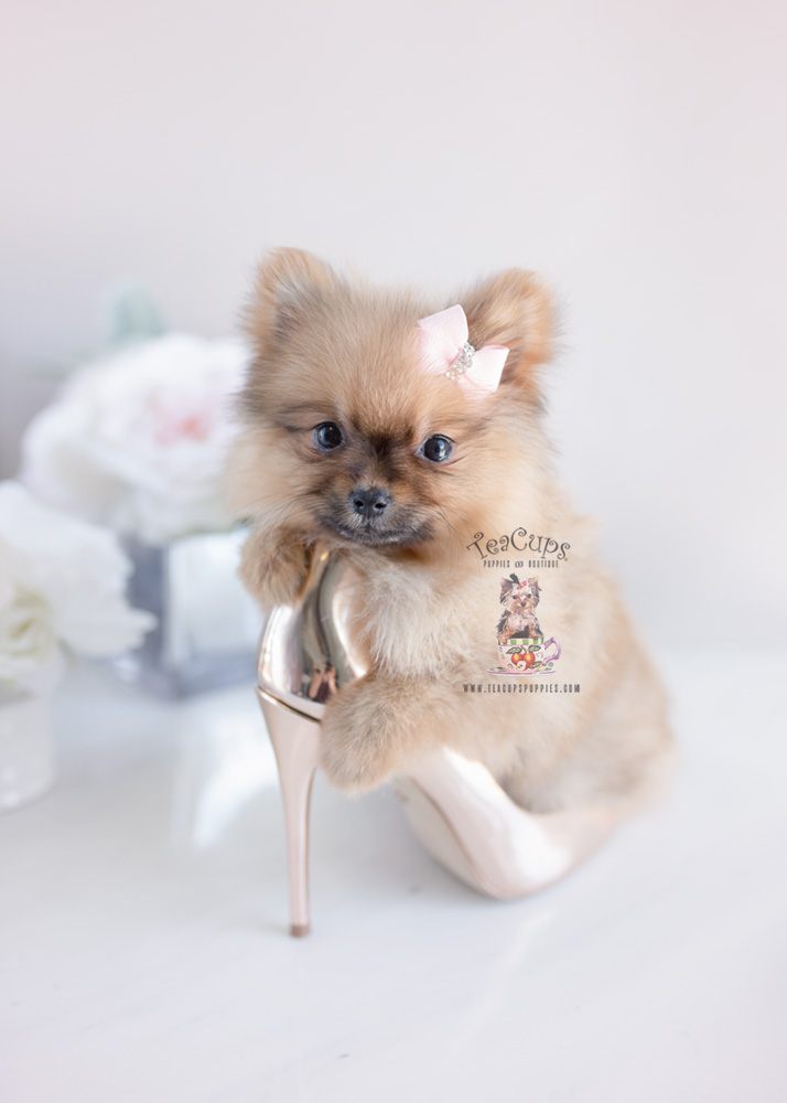 Puppy For Sale Teacup Puppies #160 Pomeranian