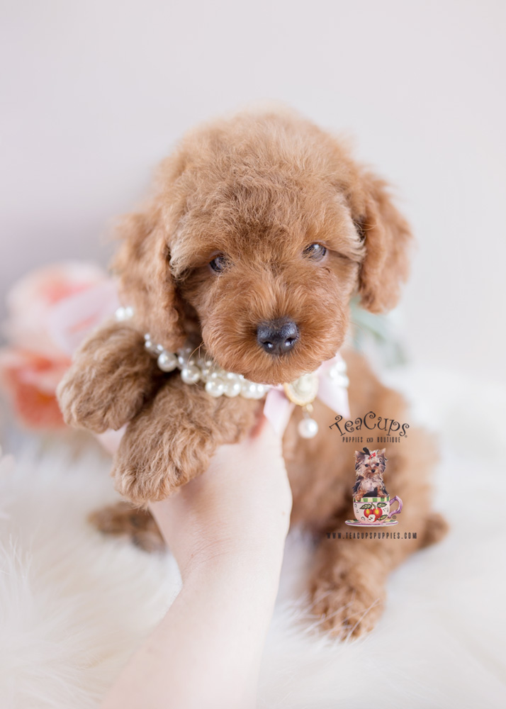 Poodle Puppy For Sale Teacup Puppies #153 Red Toy