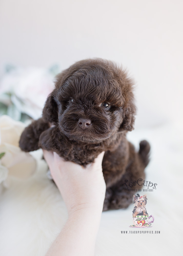Puppy For Sale By Teacup Puppies #135 Shih Tzu Poodle