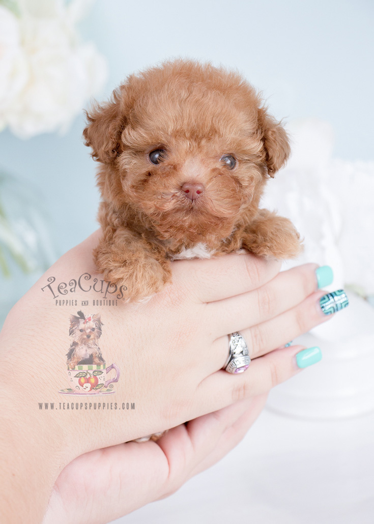 Boutique Teacup Puppies Reviews - scamion.com