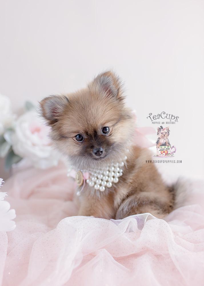 Gorgeous Pomeranian Puppies For Sale