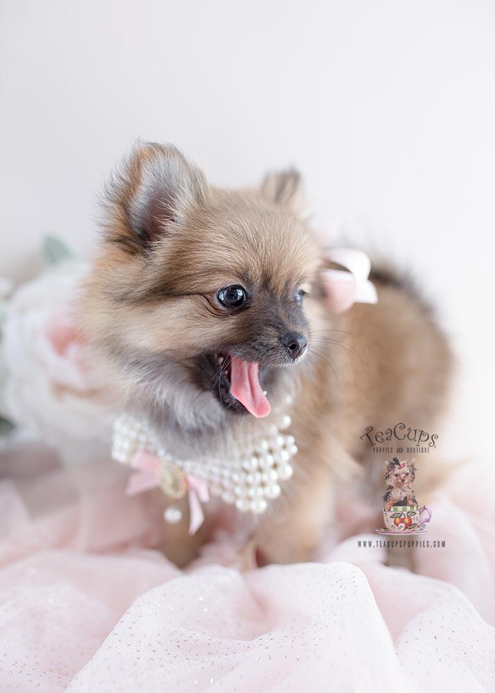 Pomeranian Puppies For Sale Florida