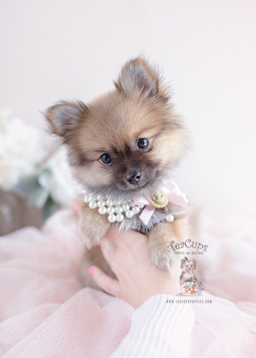 Pomeranian Puppy #145 Teacup Puppies